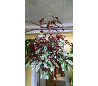 Hanging Plants in Largo FL, Rose Garden Flowers & Gifts, Inc