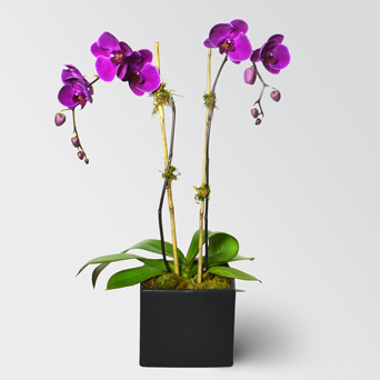 Envy Orchid Collection - Double in Dallas TX, Dr Delphinium Designs & Events