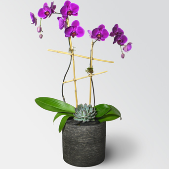 Envy Orchid Collection - Luxury Design in Dallas TX, Dr Delphinium Designs & Events