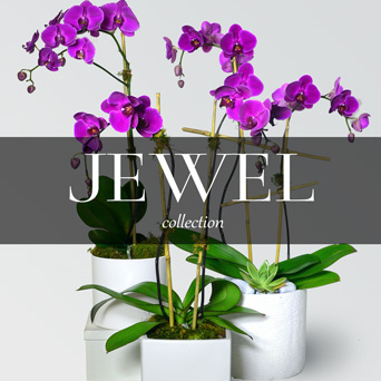 Jewel Orchid Collection in Dallas TX, Dr Delphinium Designs & Events