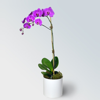 Jewel Orchid Collection - Single in Dallas TX, Dr Delphinium Designs & Events