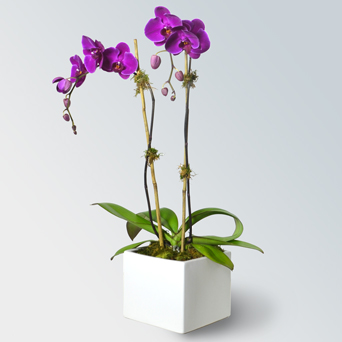 Jewel Orchid Collection - Double in Dallas TX, Dr Delphinium Designs & Events