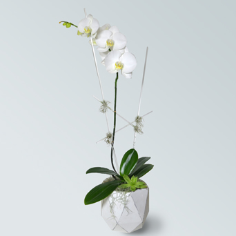 Loft Orchid Collection - Single in Dallas TX, Dr Delphinium Designs & Events
