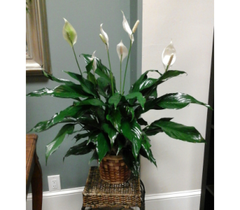 Simply Elegant Spathiphyllum Plant in Ridley Park PA, Ridley Park Florist