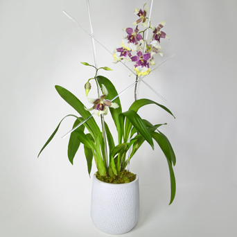 Orchid of the Month: Frosted Plum Oncidium in Dallas TX, Dr Delphinium Designs & Events
