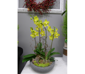 Lemon Chartreuse Orchid in Victoria BC, Fine Floral Designs