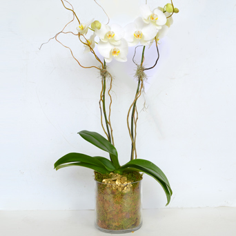Forever Orchid Collection - Double in Dallas TX, Dr Delphinium Designs & Events