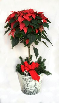 Poinsettia Tree in Crystal Lake IL, Countryside Flower Shop