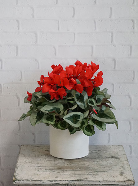 Cyclamen Plant in Raleigh NC, Fallons Creative Flowers