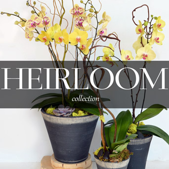 Heirloom Orchid Collection in Dallas TX, Dr Delphinium Designs & Events