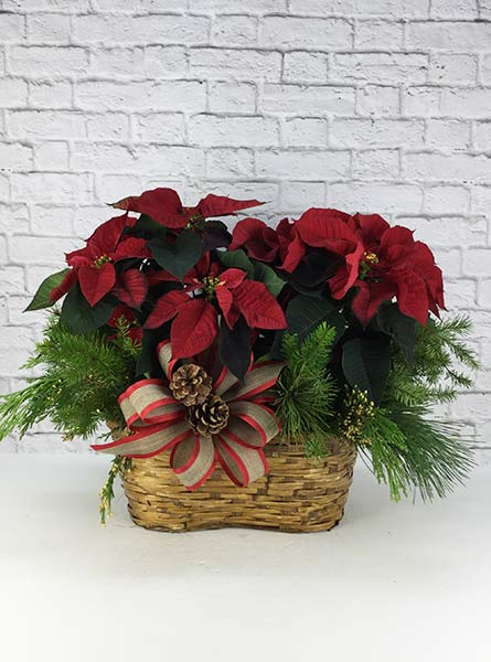 Double Poinsettia, Dressed in Chicagoland IL, Amling's Flowerland