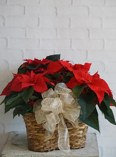 Triple Poinsettia Basket, Dressed in Chicagoland IL, Amling's Flowerland