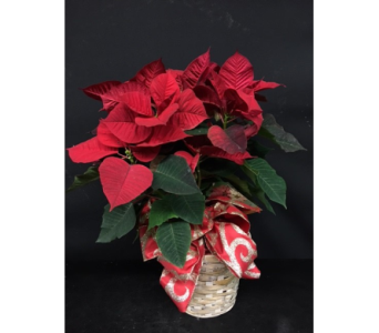 Red Poinsettia Plant in Oakland CA, J. Miller Flowers and Gifts