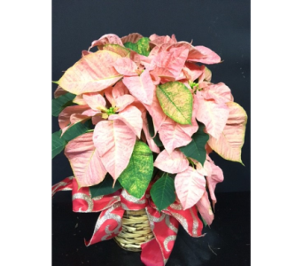 painted lady poinsettia in Oakland CA, J. Miller Flowers and Gifts