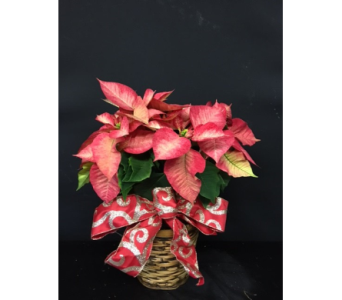 luscious pink poinsettia  in Oakland CA, J. Miller Flowers and Gifts