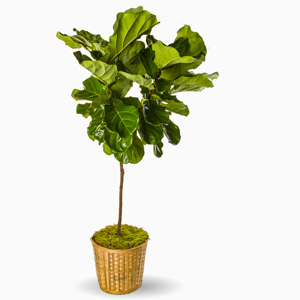 Fiddle Leaf Ficus in New York NY, Starbright Floral Design