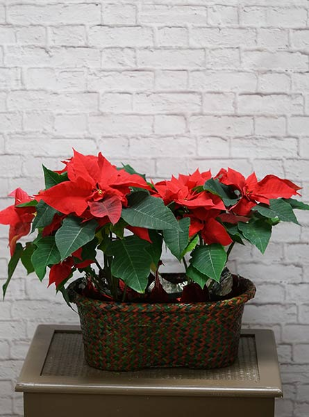 Double plain Poinsettia in Denver CO, Lehrer's Flowers