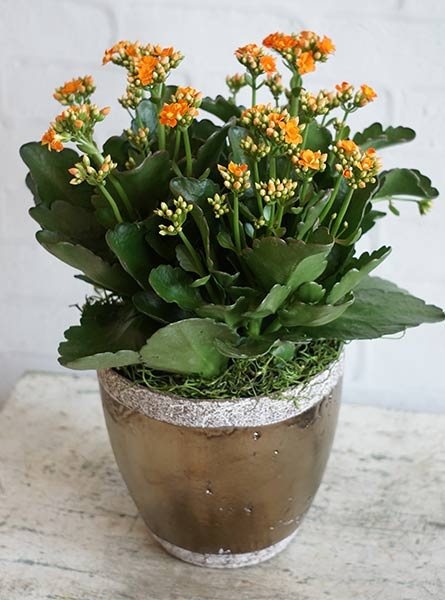 Kalanchoe  in Manchester NH, Chalifour's Flowers