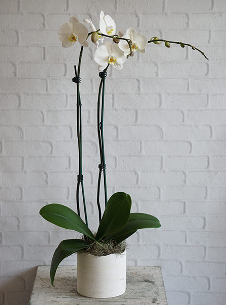White Orchid in Smithtown NY, James Cress Florist