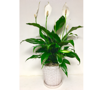 Peace Lily in 7 inch Basket Weave Ceramic w/ Tray in Wyoming MI, Wyoming Stuyvesant Floral