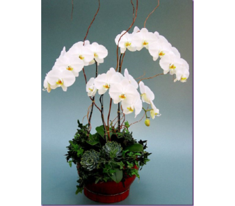 White Butterfly Orchid Pot in Campbell CA, Citti's Florists