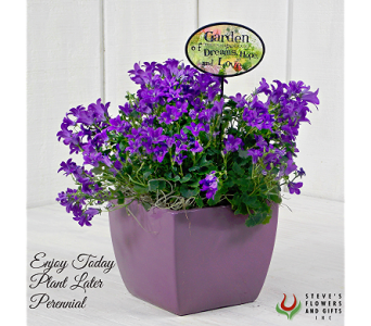 Campanula Plant in Indianapolis IN, Steve's Flowers and Gifts