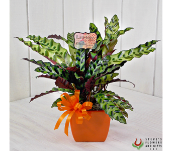 Calathea Plant in Indianapolis IN, Steve's Flowers and Gifts