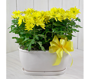 Chrysanthemum Pot in Indianapolis IN, Steve's Flowers and Gifts