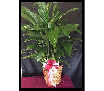 Green Spathiphyllium in Fincastle VA, Cahoon's Florist and Gifts
