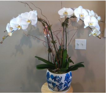 My Queen Orchid  in Tampa FL, Buds Blooms & Beyond