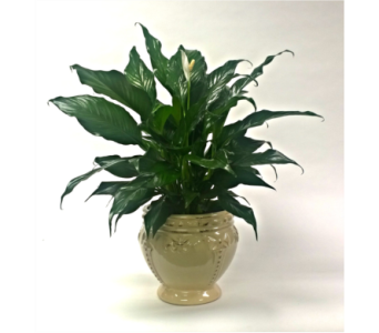 Peace Lily in Ceramic Pot in Perrysburg & Toledo OH - Ann Arbor MI OH, Ken's Flower Shops
