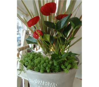 Anthurium Show Off! in Saratoga Springs NY, Dehn's Flowers & Greenhouses, Inc