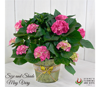 Pink Hydrangea Plant in Indianapolis IN, Steve's Flowers and Gifts