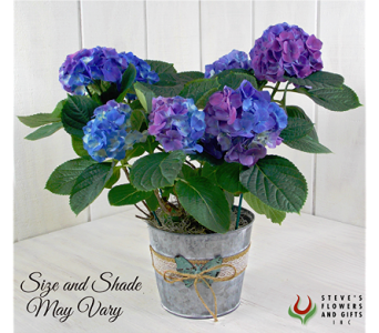 Blue Hydrangea Plant in Indianapolis IN, Steve's Flowers and Gifts