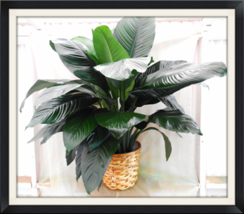 Large Peace Lilly (Spathiphyllum) in Tyler TX, The Flower Box