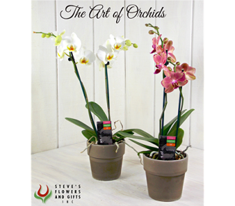 Mini Orchids in Indianapolis IN, Steve's Flowers and Gifts