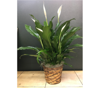 Spathiphyllum in Purcellville VA, Purcellville Florist