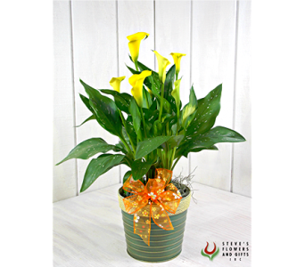 Calla Lily Plant in Indianapolis IN, Steve's Flowers and Gifts