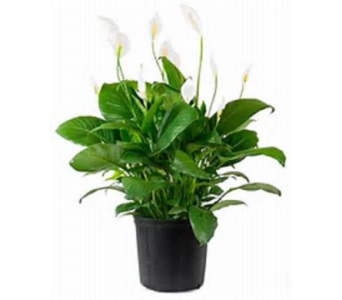 Peace Lily Special in Columbus OH, OSUFLOWERS .COM
