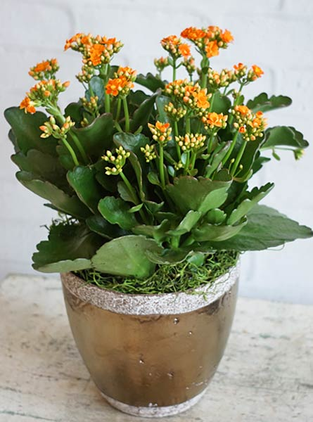 Kalanchoe in Arlington Heights IL, Sylvia's - Amlings Flowers