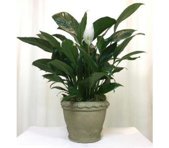 Grecian Garden Peace Lily in Titusville FL, Floral Creations By Dawn