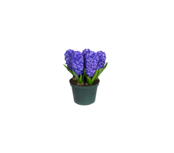 Happy Hyacinths in Markham ON, Freshland Flowers