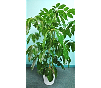 Schefflera Floor Plant in Palm Coast FL, Garden Of Eden