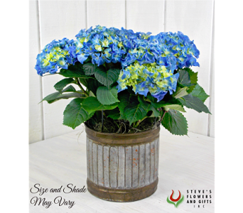 Blue Hydrangea Plant in Pendleton IN, The Flower Cart