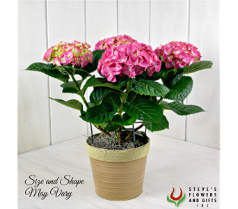 Pink Hydrangea Plant in Pendleton IN, The Flower Cart