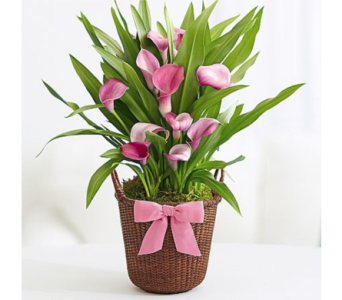 Easter Lilies-Order by Phone Only in Kingman AZ, Heaven's Scent Florist