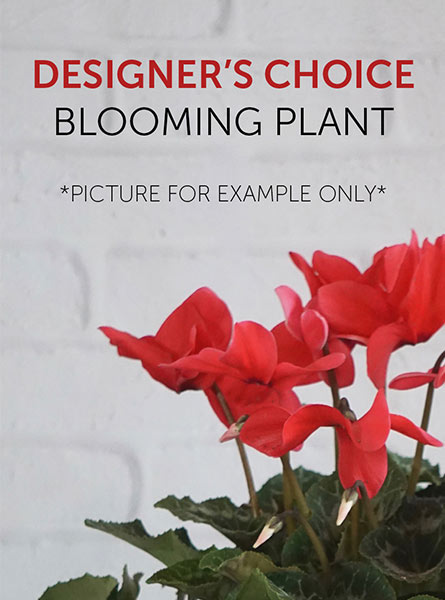 Designer''s Choice Blooming Plant in Chicagoland IL, Amling's Flowerland