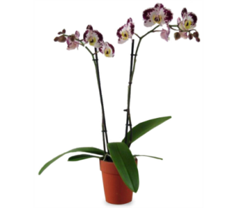 Desk-Size Orchid $55 in McLean VA, MyFlorist