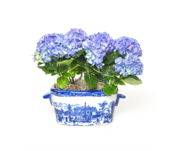Deluxe Potted Hydrangea in Little Rock AR, Tipton & Hurst, Inc.