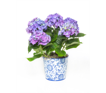 Hydrangea in Decorative Container in Little Rock AR, Tipton & Hurst, Inc.